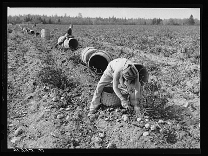 Children-picking-potatoes-in-a-field-near-caribou-maine-schools-in-the-area-1024